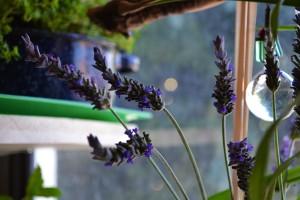 lavender-alone